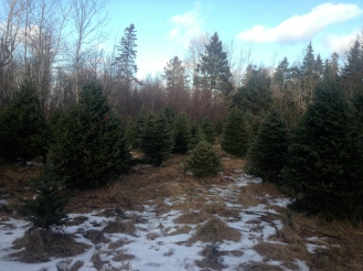 Picking out our Tree